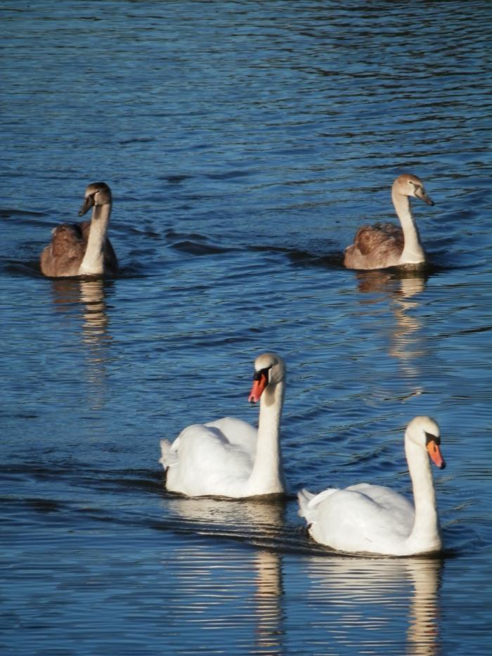 Swans of Cuckmere