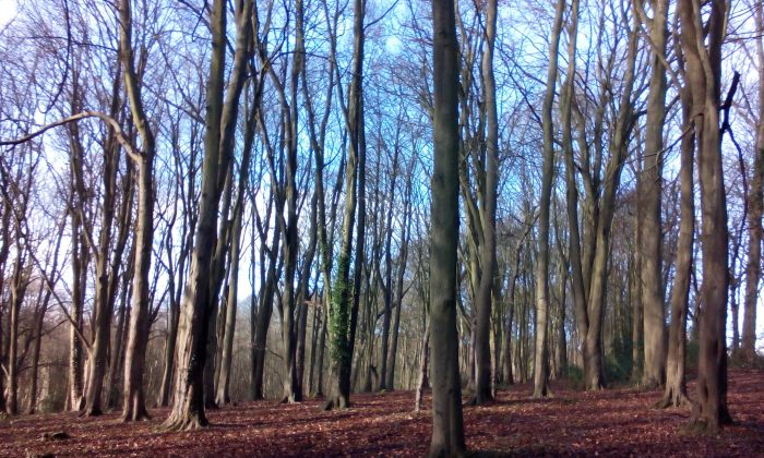 Bellows Wood, Chiltern Hills